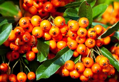 Pyracantha Orange Glow - total height 60-80 cm - pot 2 ltr