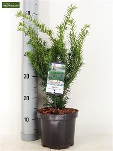 Taxus media Densiformis - total height 30-40 cm - pot Ø 19 cm