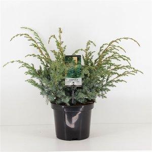 Juniperus chinensis Blue Alps - total height 45-55 cm - pot 3 ltr