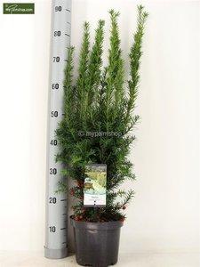 Taxus media Hicksii - total height 50-60 cm - pot Ø 19 cm