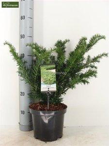 Taxus baccata Repandens - total height 30-40 cm - pot Ø 19 cm