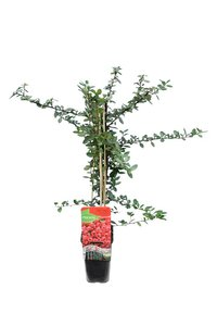Pyracantha coccinea Red Column - total height 70-90 cm - pot 2 ltr