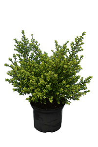 Ilex crenata Glorie Dwarf - total height 50-60 cm - pot 5 ltr