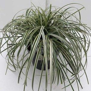 8104 - Carex feather falls 5 ltr
