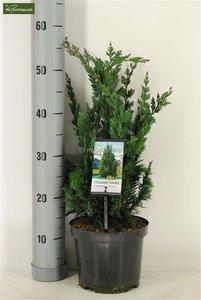 Chamaecyparis lawsoniana Wisselii - total height 60-70 cm - pot 3 ltr