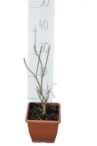 Callicarpa bodinieri Profusion - total height 30-40 cm - pot P14