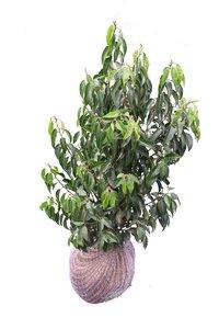 5x Prunus lusitanica Angustifolia (ROOTBALL) - Plant size 40-60 cm [pallet]