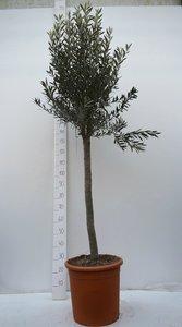 Olea europaea - wild form - trunk 110-130 cm - circumference 20-30 cm - pot 30 ltr [pallet]