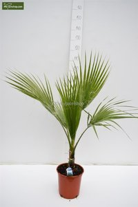 Washingtonia robusta - totale hoogte 80-100 cm - pot Ø 22 cm