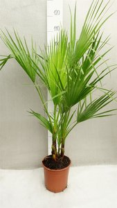 Washingtonia robusta Multistam - totale hoogte 80-100 cm - pot Ø 22cm