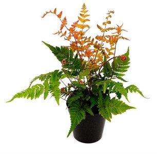 Dryopteris erythrosora - pot 1,7 ltr