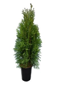 Thuja occidentalis Brabant (CONTAINERPLANT) - total height 80-100 cm - pot 3 ltr