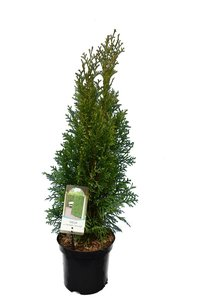 Thuja occidentalis Smaragd (CONTAINERPLANT) - total height 60-80 cm - pot 3 ltr