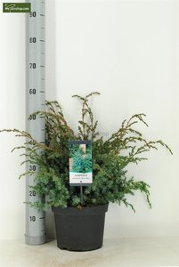 Juniperus chinensis Blue Alps - total height 80-90 cm - pot 5 ltr
