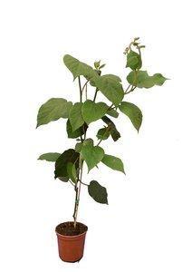 Actinidia deliciosa Tomuri - total height 80-100 cm - pot 3 ltr