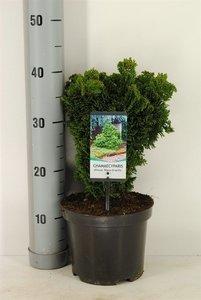 Chamaecyparis obtusa Nana Gracilis - total height 30-35 cm - pot Ø 19 cm - 3 ltr