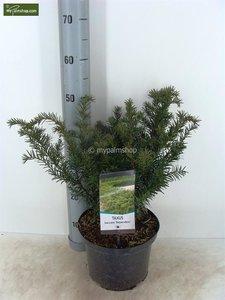 Taxus baccata Repandens - total height 40-50 cm - pot Ø 23 cm