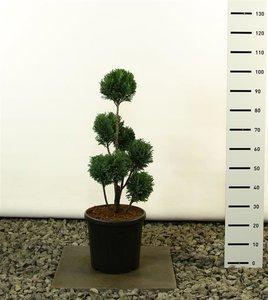 Chamaecyparis lawsoniana Elwoodii Multibol - total height 60-80 cm - pot 18 ltr