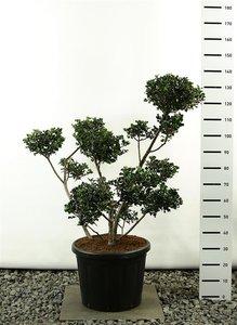Ilex meserveae Blue Angel multiplateau - total height125-150 cm - pot 20 ltr