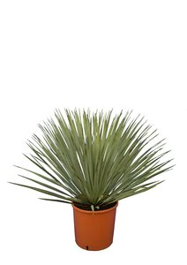 Yucca rostrata - total height 70-90 cm - pot 26 cm