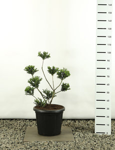 Ilex crenata Convexa Multibol - total height 80-100 cm - pot Ø 20 cm
