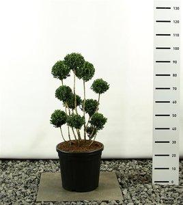 Buxus sempervirens multibol - total height 80-100 cm - pot 20 ltr