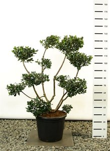 Ilex meserveae Blue Prince multiplateau -  total height 125-150 cm - pot 20 ltr