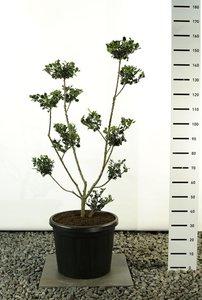 Ilex meserveae Blue Princess Multiplateau - total height 125-150 cm - pot Ø 36 cm