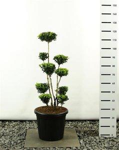 Buxus sempervirens multiplateau - total height 100-125 cm - pot 20 ltr