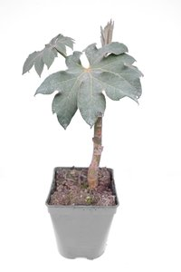Tetrapanax papyrifera Steroidal Giant - total height 20+ cm - pot 11 cm