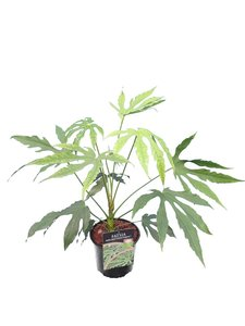 Fatsia polycarpa Green Fingers - total height 40-60 cm - pot Ø 17 cm
