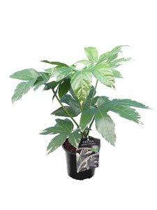 Fatsia japonica Variegata - total height 50-70 cm - pot Ø 17 cm