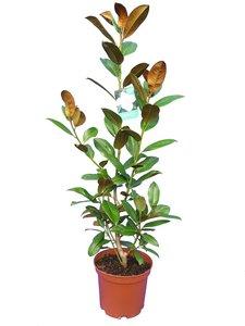 Magnolia grandiflora Nantais - total height 120-140 cm - pot Ø 25 cm