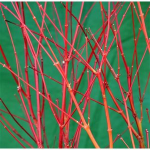 Acer palmatum Sangokaku - total height 90-110 cm - pot 7.5 ltr