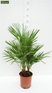 Chamaerops humilis - total height 80-100 cm - pot Ø 21 cm