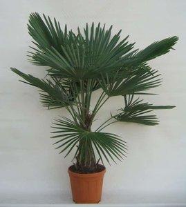 Trachycarpus fortunei - stam 30-40 cm - totale hoogte 140-160 cm - pot Ø 31 cm