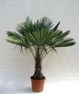 Trachycarpus fortunei stam 40-50 cm - totale hoogte 140-150 cm