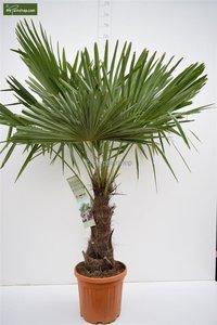 Trachycarpus fortunei stam 50-60 cm