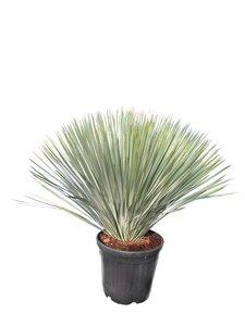 Yucca rostrata - total height 100-120 cm - pot Ø 38 cm