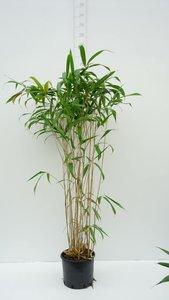 Pseudosasa japonica Tsutsumiana - total height 120+ cm - pot 10 ltr [pallet]