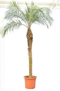 Phoenix roebelenii - trunk 160-180 cm - totale height 250+ cm - pot Ø 45 cm [pallet]