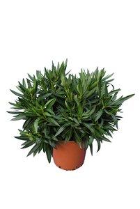 Nerium oleander pink - total height 70-90 cm - pot Ø21 cm