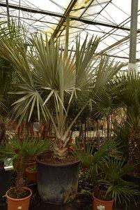 Bismarckia nobilis - total height 240+ cm - pot Ø 70 cm [pallet]
