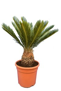Cycas revoluta - total height 75-95 cm - pot Ø 28 cm