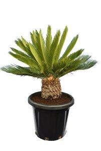 Cycas revoluta - total height 80-100 cm - pot Ø 38 cm [pallet]