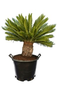 Cycas revoluta - trunk 25-35 cm - total height 100-120 cm - pot Ø 45 cm [pallet]