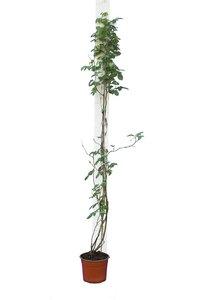 Rosa climber - white - pot Ø 22 cm