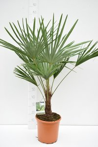 Trachycarpus fortunei - trunk 20-25 cm - total height 120-140 cm - pot Ø 30 cm
