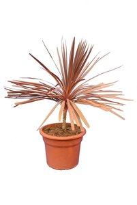 Cordyline australis Red Star - total height 90-110 cm - pot Ø 35 cm