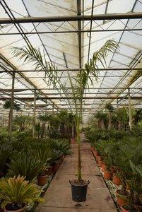 Roystonea regia - total height 300+ cm - pot Ø 45 cm